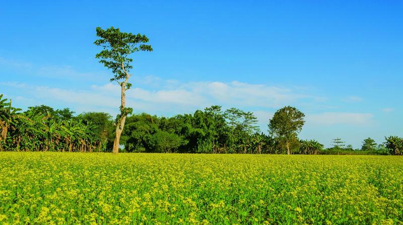 Majuli is a riverine island in the Brahmaputra where blue skies and mustard fields make a beautiful landscape