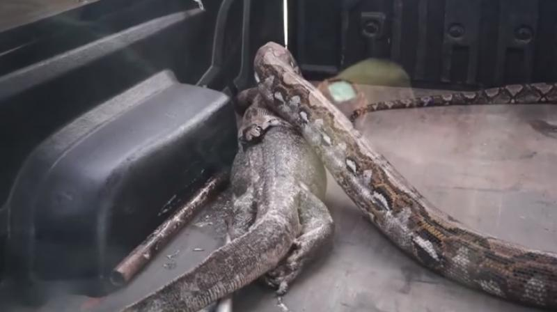 The python was released in the forest but the lizard didn't make it (Photo: YouTube)