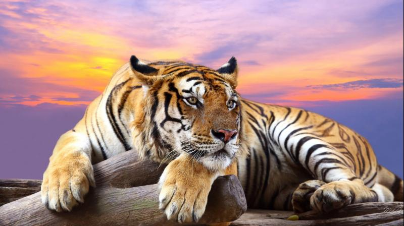 Protected landscapes are disconnected from each other and this could lead to inbreeding and lower rate of reproduction among tigers.