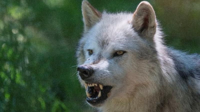 Wolves are among the predators attracted to a molecule from mammal blood known as E2D.