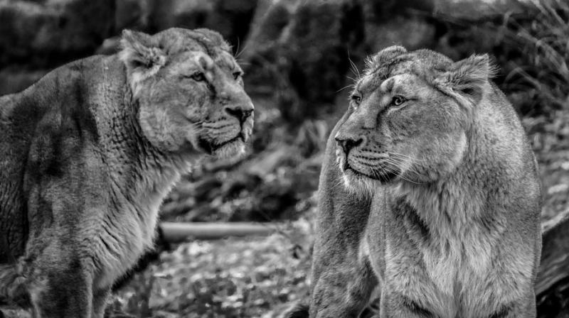 In the wild lions are often killed if they are seen too old or unfit to rule the pride (Photo: Pixabay)