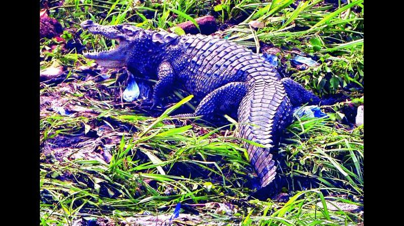 The mugger crocodile.