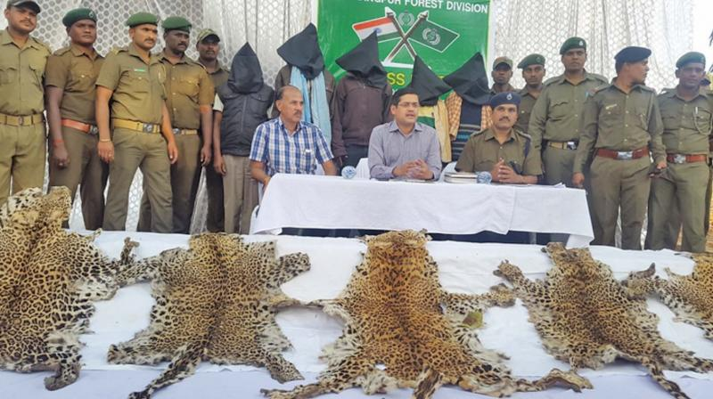 Odisha forest department officials display tiger skins seized from poachers.