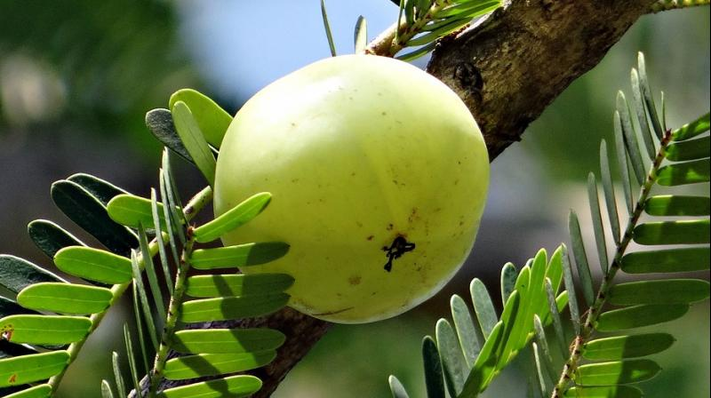 The benefits of amla do not merely restrict themselves to skin care. (Photo:Representational/Pixabay)