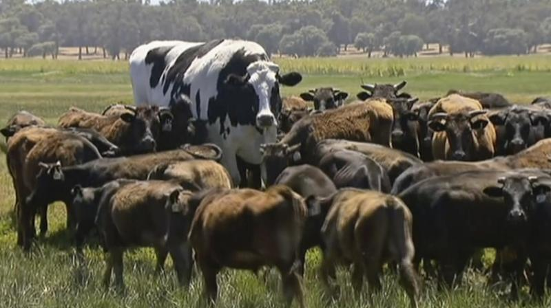 Australian media say Knickers is believed to be the tallest steer in the country and weighs about 1.4 tons. (Photo: AP)