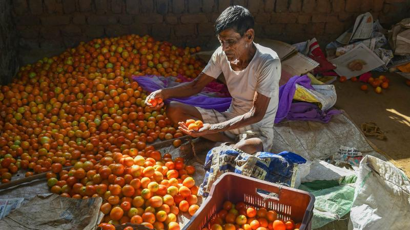 Farmers sort tomatoes near a field before being be transported to other cities, during the nationwide lockdown imposed in wake of coronavirus pandemic, at Murbad Taluka in Thane. PTI photo