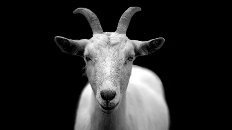 A complaint was filed with the Nagina police station where the station in charge (SI) Rajbir was recorded as detailing that they were approached by the goat's owner. (Photo: Pixabay)