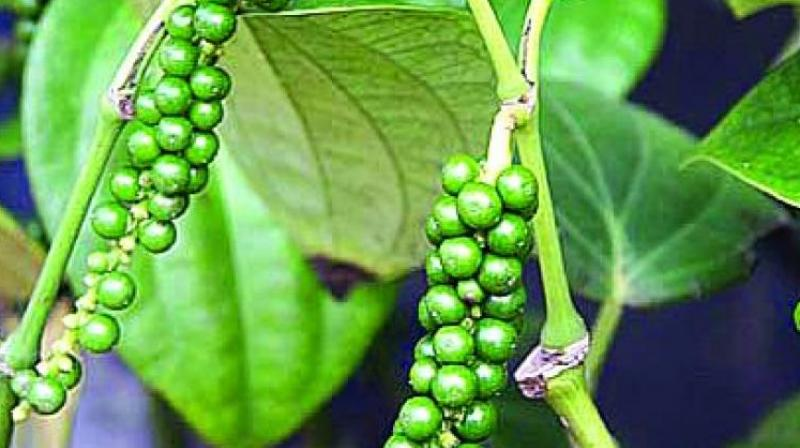 The overall pepper production in India was projected to be nearly 60,000 tonne. But the actual quantity may well be much less as production in Karnataka and Kerala, two key pepper producing states, were hit by inclement weather.