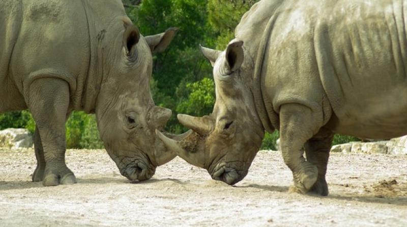 Rhino survival is critically challenged by the trade-in its horn and other horn substitutes are being developed in the hope to undermine the market in this much sought after. (Photo: ANI)
