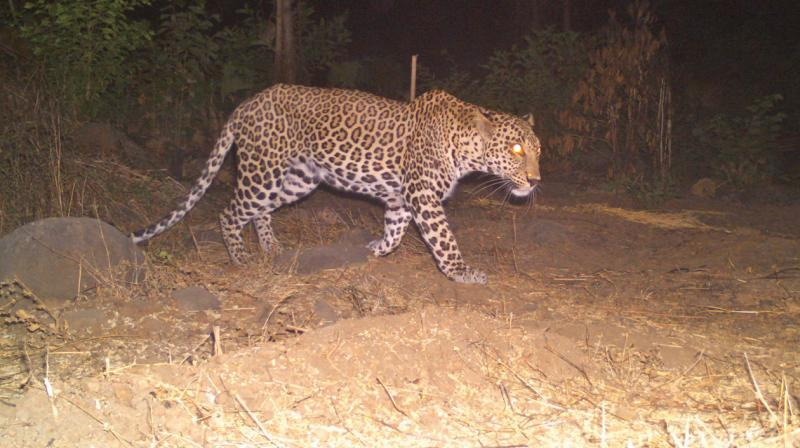Five leopards were identified for the study