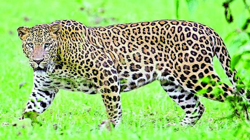 In a similar exercise at SGNP this year, around 41 leopards were found within the national park and adjacent periphery.