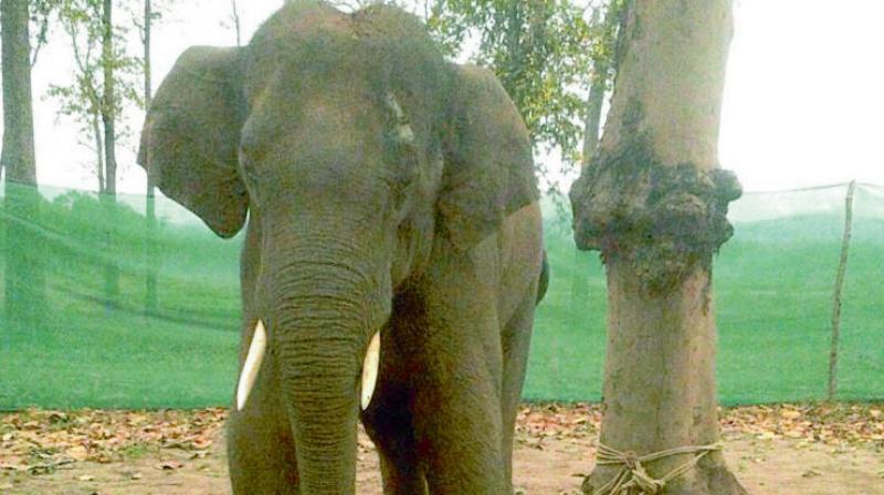Elephant Sonu in captivity.