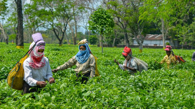 Women belonging to the tea-tribe community work at a garden during the nationwide lockdown to curb the spread of coronavirus, in Dibrugarh (PTI)