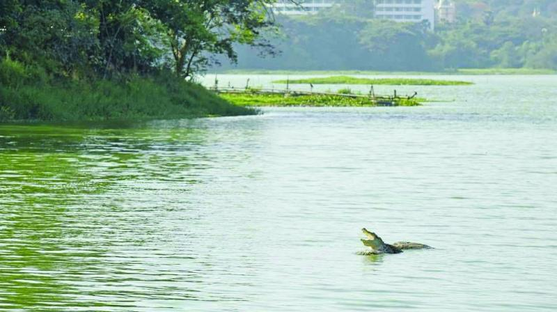 Due to the food chain, the algal bloom in the water adversely affects even human beings apart from the fishes in the lake that are not able to survive.