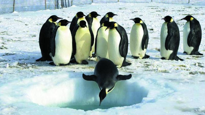 A herd of King Penguins on southern hemisphere. Representational Photo