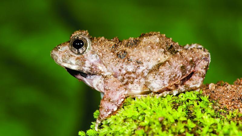 The species belong to Fejervarya genus. (Photo: SD Biju)