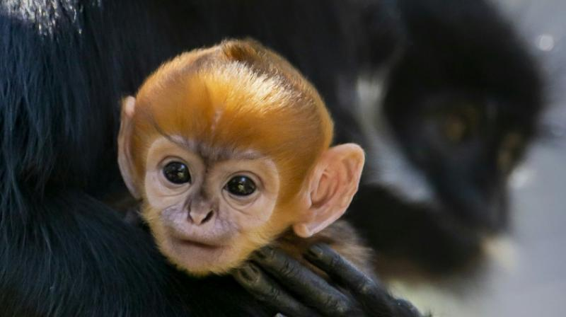 There are about 3,000 Francois' Langurs living in the world. (Photo: AFP)