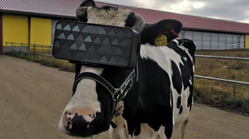 A unique summer field simulation program was also created which helped bring down the anxiety level of the cows and improve the overall emotional mood of the herd.  (Image credit: Ministry of Agriculture and Food of the Moscow Region)