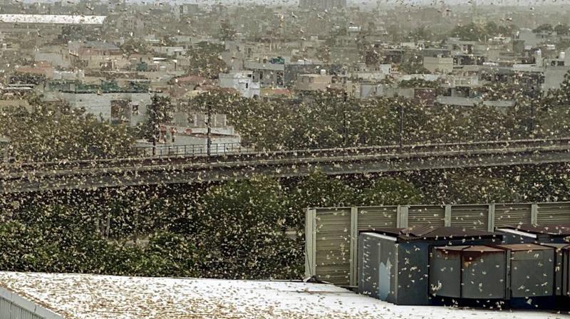 Locusts attack in Gurugram. (PTI)
