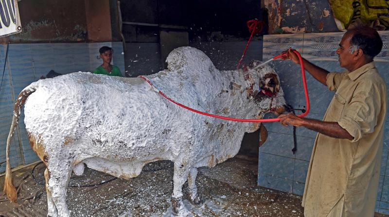Sheikh Sagheer showers foam on a cow before washing it at his car service station ahead of the Muslim festival Eid al-Adha or the 'Festival of Sacrifice', in the Pakistan's port city of Karachi. (AFP)