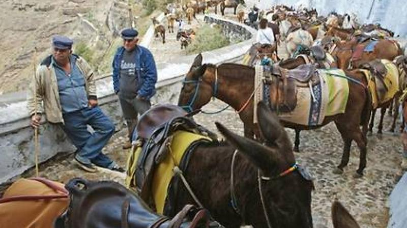 Donkeys have been the traditional means of transport on the Island of Santorini known for a hilly terrain (Photo: AFP)