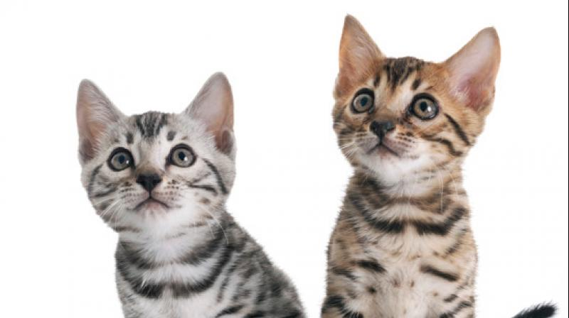 Two cats in New York are first pets in US to test positive for COVID19. (Photo- FreePix)