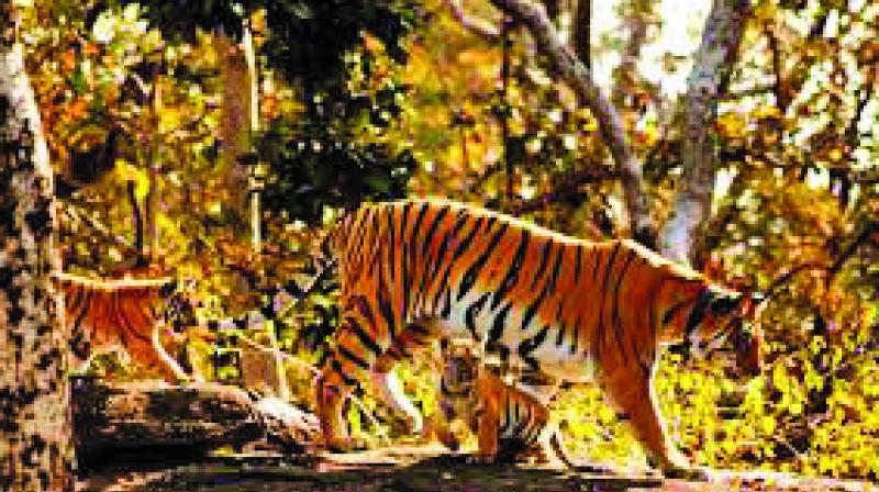 The tigress is popularly known as 'Collarwali' for being radio-collared
