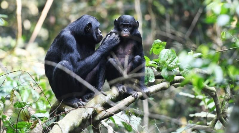 The bonobo moms act a bit like social passports. (Photo: AFP)