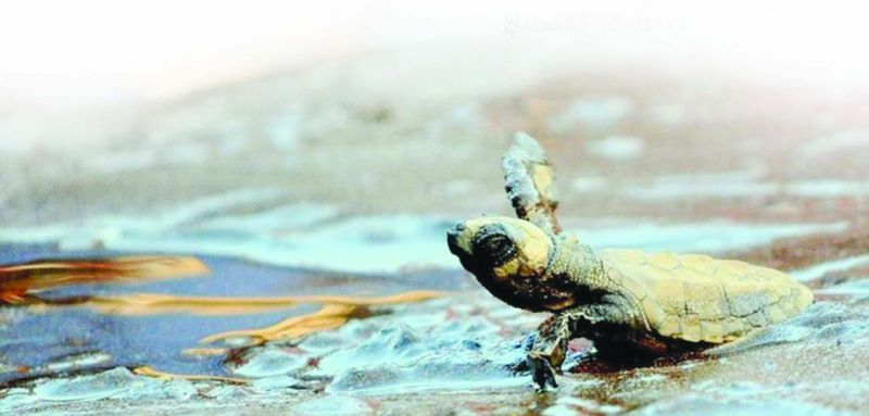 A young Olive Ridley Turtle finally released in the water.