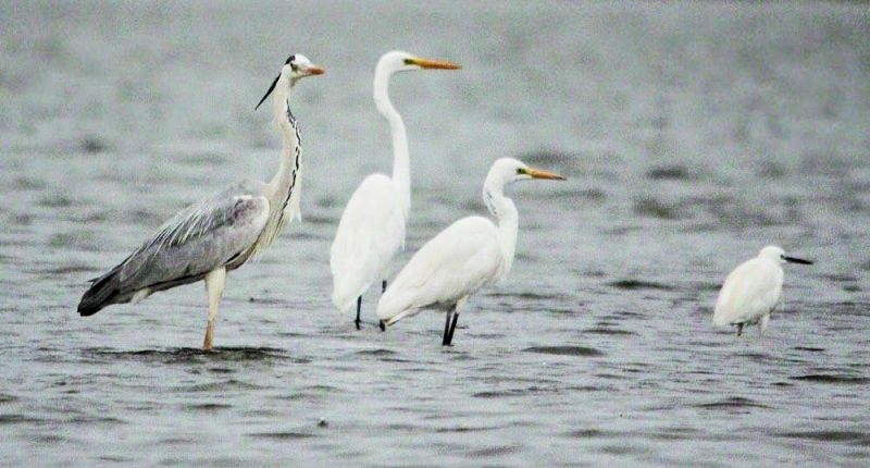 Ashy prinia, Grey heron and egrets, and white cheeked bulbul are also among those spotted