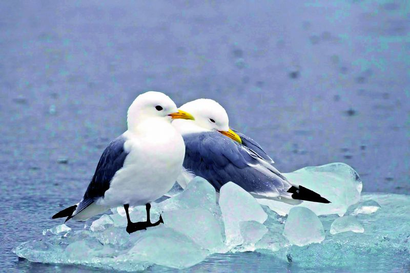 Kittiwakes birds of Svalbard