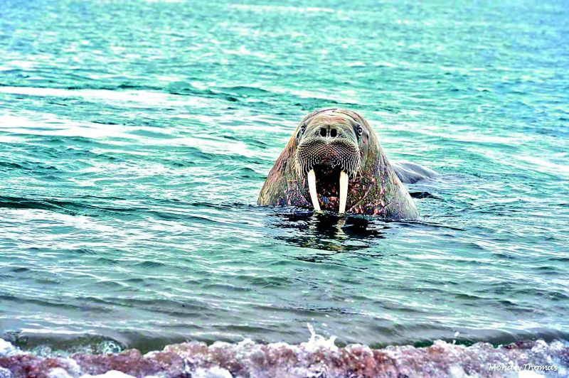 The glaciers are home to the large flippered marine mammal, walrus