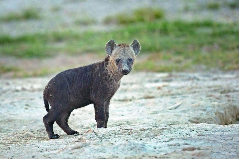A hyena pup