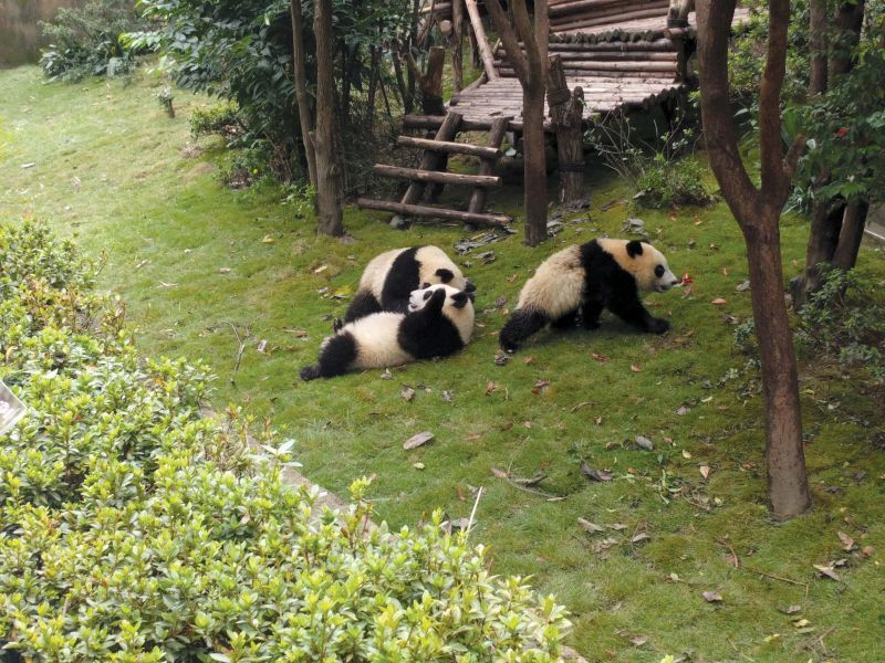 The Pandas going about their business.