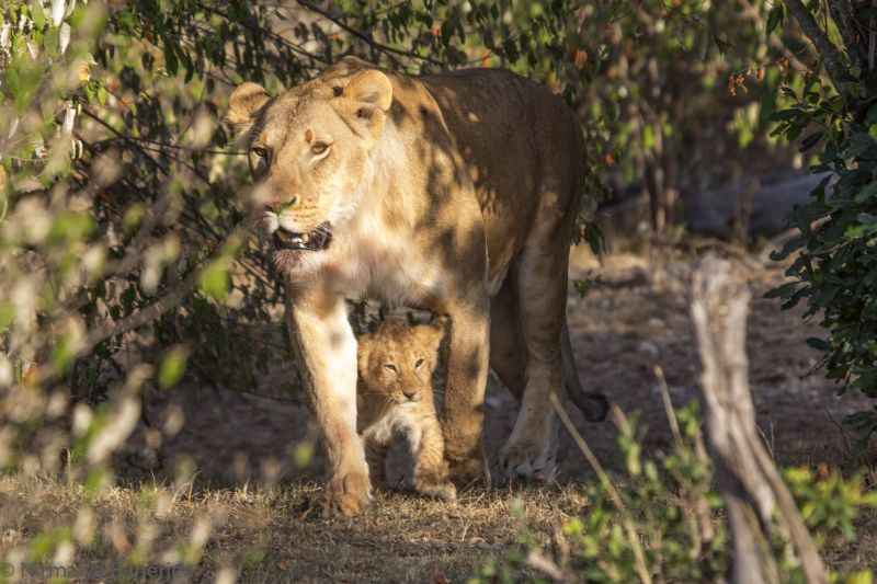 Lioness emerges from a bush along with her cub. You can track wildlife in Private Conservancies because you can go off road.