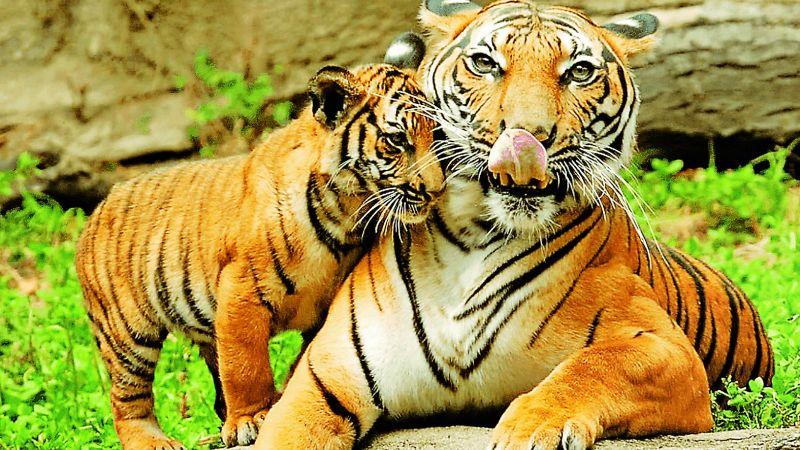 Tiger's tale turns tragic