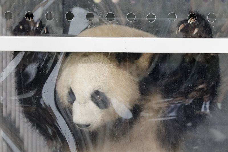 Giant panda Meng Meng looks out of its container during a presentation after the arrival from China at the airport Schoenefeld near Berlin, Saturday, June 24, 2017.  (AP Photo/Markus Schreiber)