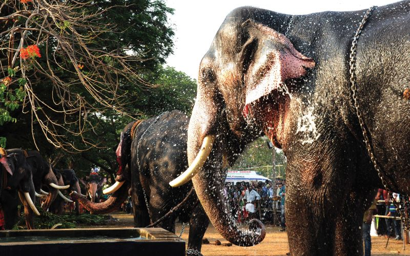 Elephants hold a special place in festivals, particularly in Thrissur Pooram, where more than a hundred captive elephants are paraded each year.
