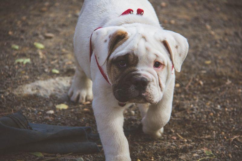 Bulldog (Photo: Pixabay)
