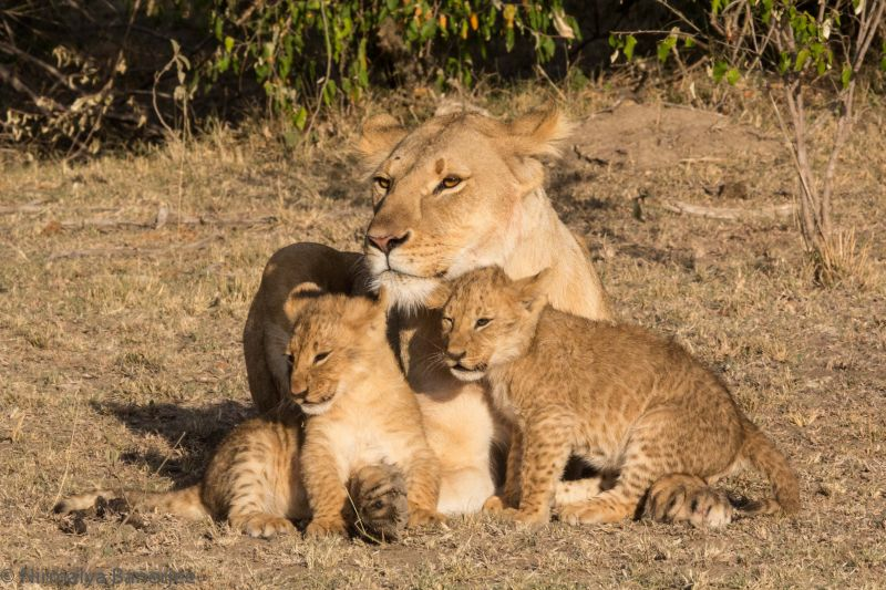 Sampu Enkare prride lioness with her two cubs. We were the only car within sight. In a national park there would have been many safari vehicles jockeying for position.