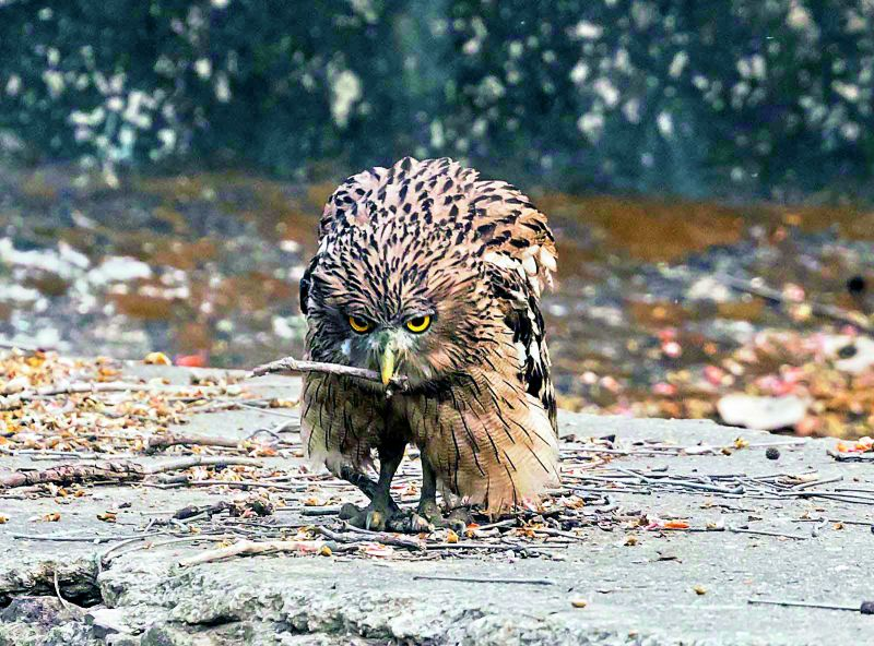 A brown fish owl on a prowl... Who's next?