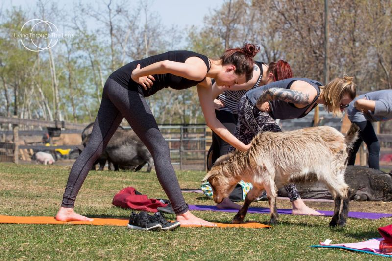 Goat yoga is the new must-do fitness craze
