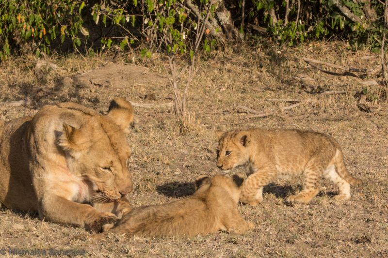 The second cub comes out to join her mother and brother.