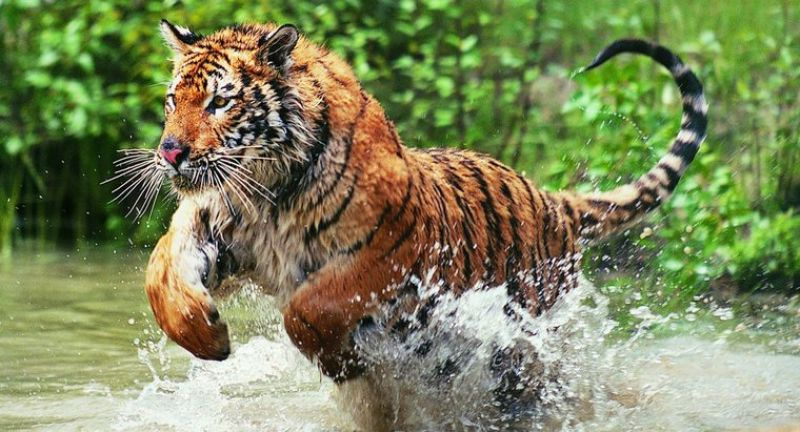 Simply moving the tigers to another reserve, for instance, is not a 'viable solution'. (Photo:AP)