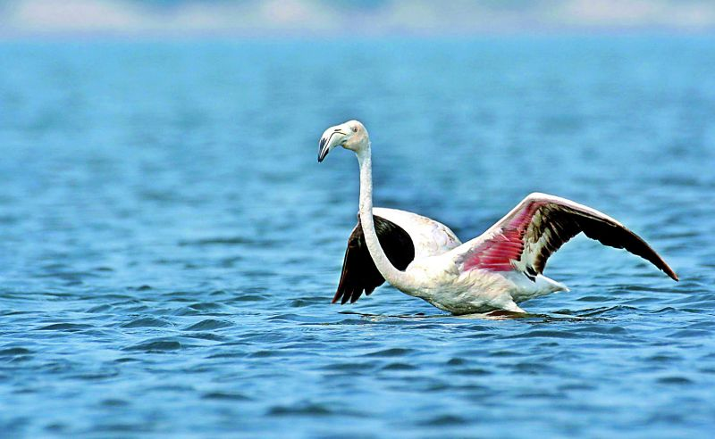 Greater flamingo; photographed by  R.K. Balaji.