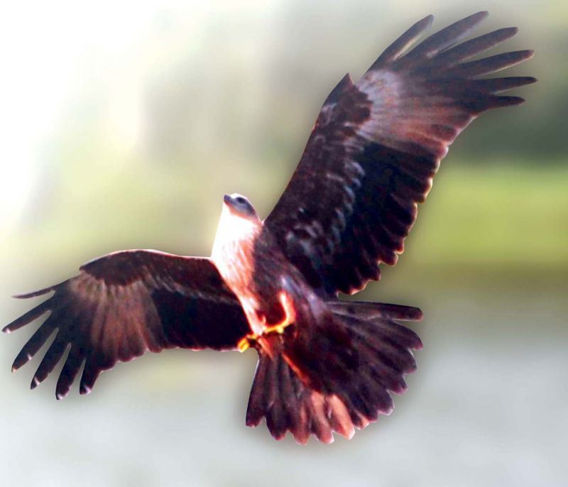 Kaikondrahalli Lake -Marsh Harrier