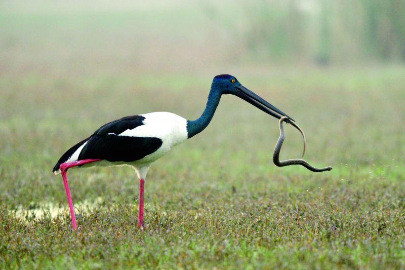 Black necked strok- feasting snake