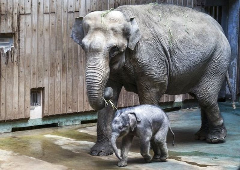Newborn elephant Filimon and his mother Pipita walk in the pavilion at the Moscow zoo in Moscow, Russia, on Tuesday, June, 20, 2017. Filimon, a baby elephant recently born at the Moscow zoo, has been presented to the public for the first time. (AP Photo/Alexander Zemlianichenk
