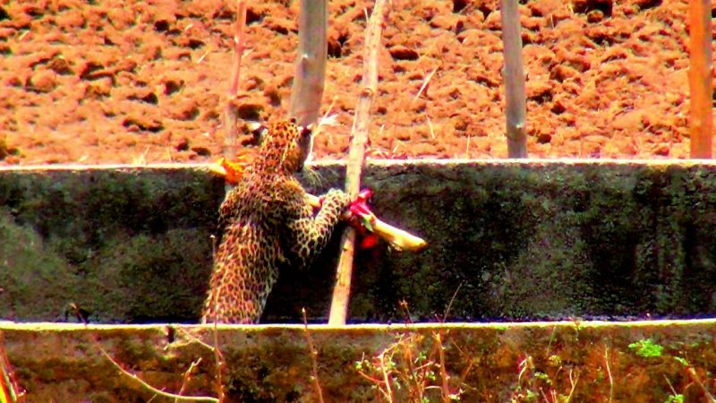 The leopard was seen slowly making way for the ladder and started climbing.