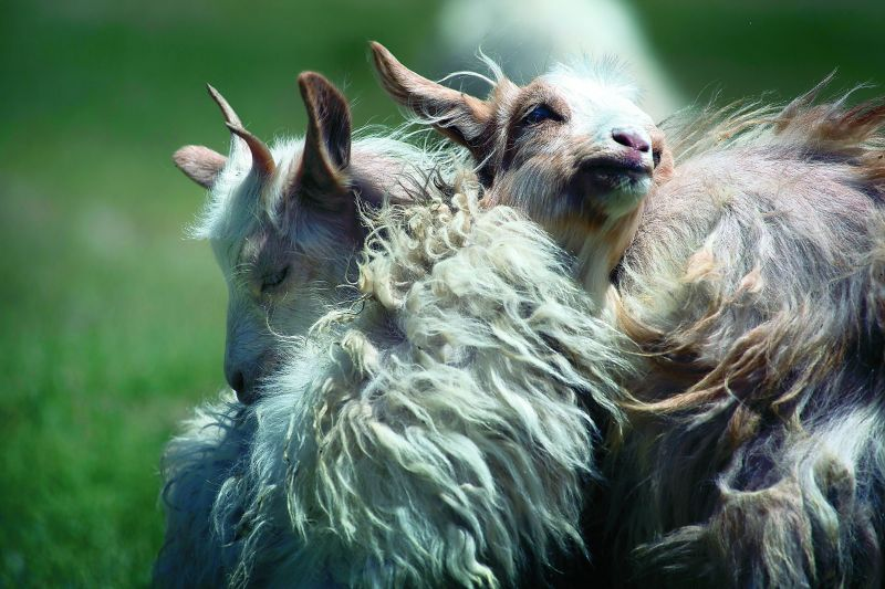 Pashmina sheep nuzzling in the sunlight at Ladakh